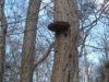 2Shelf-Fungus-in-Winter