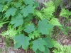 13Ferns-and-Maple-Leaves