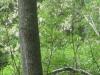 15Locust-Trees-Blooming