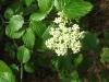 16Arrowwood-Blossom