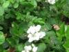 3Blackberry-Blossoms