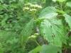 4Arrowwood-Flower