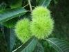 american-chestnut-nut