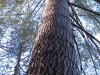 large-eastern-white-pines-found-on-site