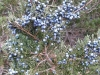 10juniper-berries-along-mill-pond