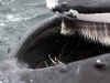 Sand eels trapped in the Humpbacks baleen