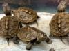 9-10-15 terrapin hatchlings