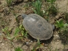 Terrapin Turtle on site- spring 2011