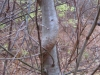 3bittersweet-torturing-a-tree