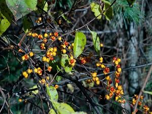 Oriental Bittersweet, Asiatic Bittersweet (Celastrus orbiculatus