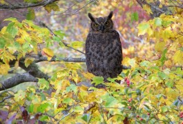 Great Horned Owl at Twinings Pond.