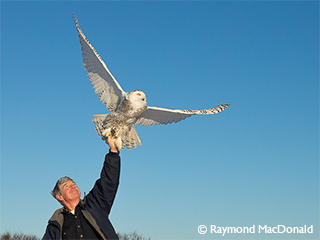 norman-smith-with-snowy-owl-lifting-off-c-raymond-mcdonald_large_landscape