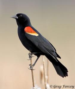 red_winged_blackbird_359