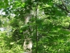 rare-mockernut-hickory