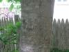 12Ash-Tree-Bark