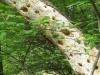 22Popular-Pine
