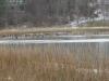 8ducks-walking-on-water-ice-12-14-13