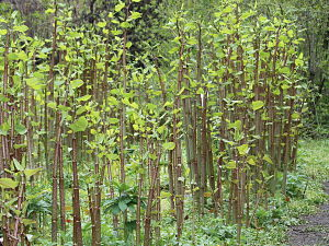 Japanese Knotweed Stand_opt