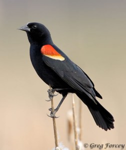red_winged_blackbird_359